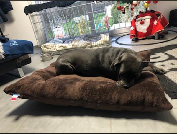 chien dogue sur un coussin de sol -couchage  aux couleurs chatoyantes