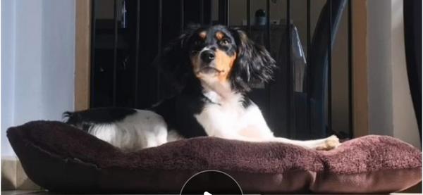 coussin de sol 80 cm x 120 cm  pour chien épagneul  couleur marron fonce-  noir- marron clair